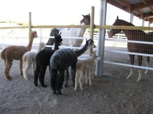Alpaca herd meets horses