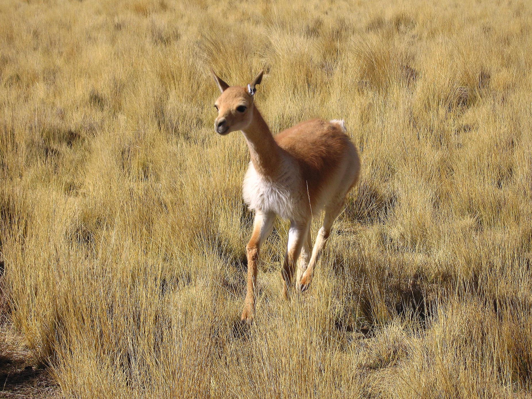 Vicuna Wolle
