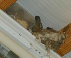 Baby King Birds