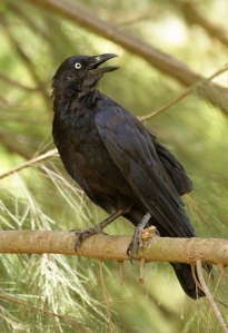 Corvus_coronoides