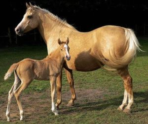 Palomino_Mare_and_Foal_photo_-_cc_licensing