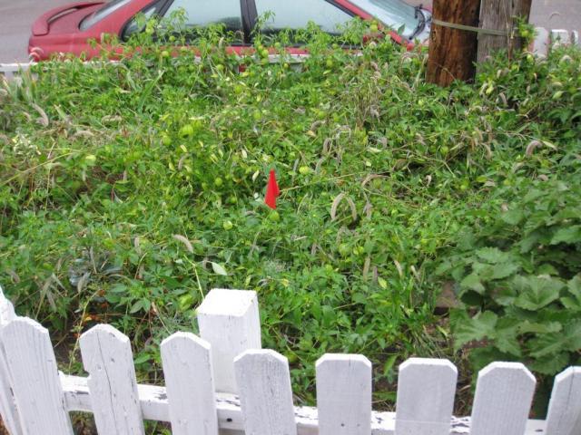 My two tiny tomatillo plants are not so tiny any more.
