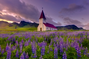 Iceland Lupines