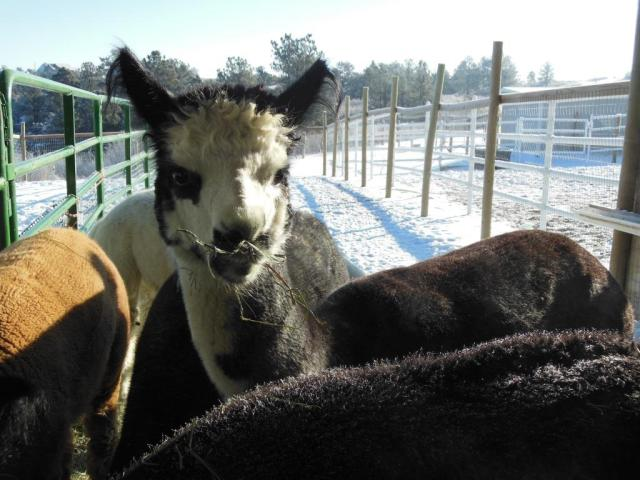 Marseille looking over Brittany's frost covered shoulder.  Brittany's thick coat of fiber keeps her warm!